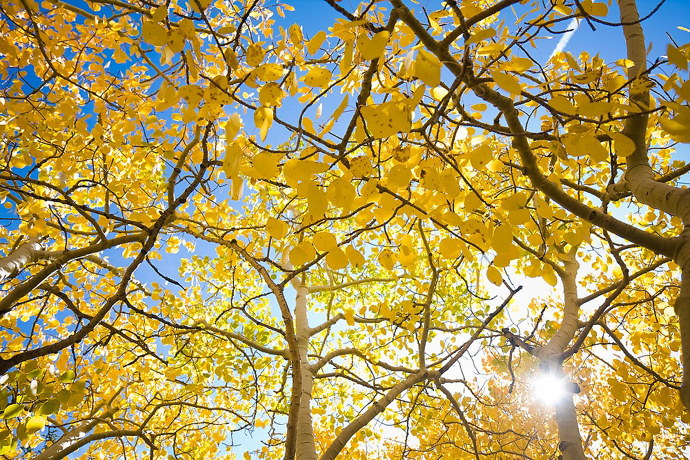 Fall colors abound in an aspen (Populus tremuloides) grove in Rocky Mountain National Park, Colorado.