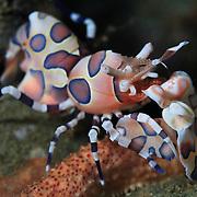 Harlequin shrimp (Hymenocera elegans) standing guard over its captive starfish. Ambon, Indonesia