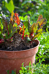 Chard kept in a pot overwinter to obtain baby salad leaves.