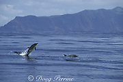 common dolphins, Delphinus delphis, breaching out of the water, Sao Jorge Island, Azores Islands, Portugal ( North Atlantic Ocean )