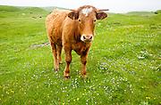 Brown bullock with horns on machair grassland grazing, Vatersay Island, Barra, Outer Hebrides, Scotland, UK