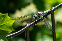 A dragonfly at Shakespeare Garden in Central Park