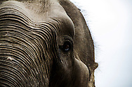 A rescued Asian Elephant at the Phnom Tamao Wildlife Rescue Center in Takeo Province, Cambodia, Southeast Asia