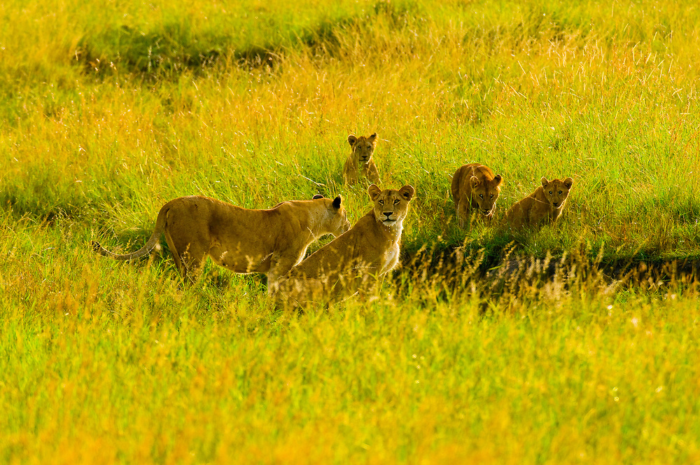 A pride of lions playing in deep grass, Masai Mara National Reserve, Kenya