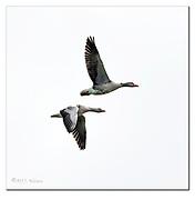 Pair of greylag geese flying at Vejlerne, northern Denmark. Nikon D850, 600mm + TC14 @ 850mm, f5.6, EV+2, 1/2000sec, ISO640, handheld, Aperture priority