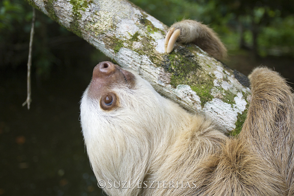 Hoffmann's Two-toed Sloth <br /> Choloepus hoffmanni<br /> Aviarios Sloth Sanctuary, Costa Rica<br /> *Rescued and in rehabilitation program
