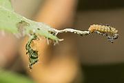White admiral (Limenitis camilla) 1st instar larva on honeysuckle (Lonicera periclymenum) with aerial latrine suspended below. Sussex, UK.
