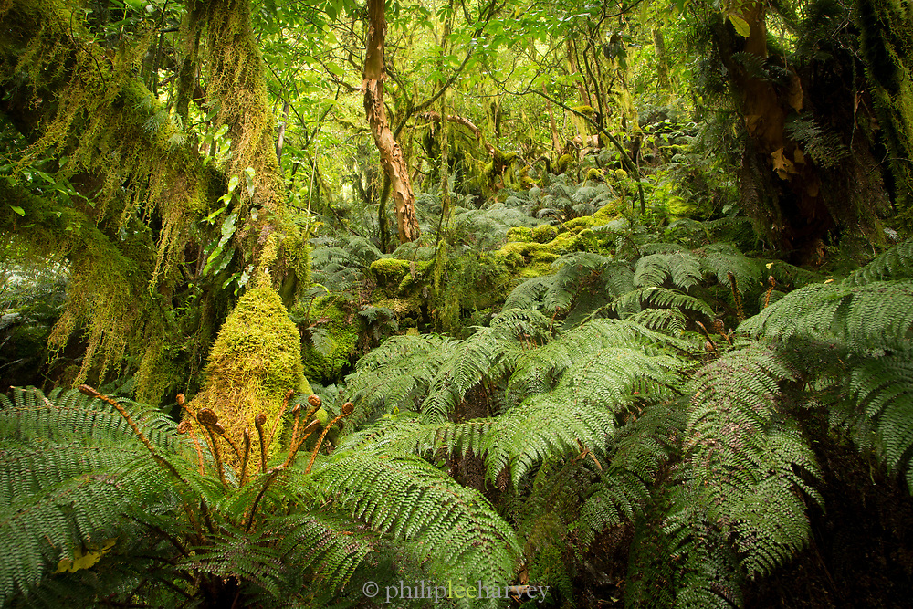 Landscape with lush foliage with green ferns along Routeburn Track between Lake Mackenzie to Divide Shelter, South Island, New Zealand