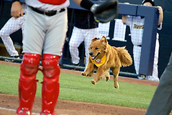 May 2, 2017 - Trenton, New Jersey, U.S - ROOKIE, a golden retriever, and one of the Bat Dogs for the Trenton Thunder, bounds onto the baseball field toward home plate to retrieve a bat for the Trenton Thunder in the game vs. the Harrisburg Senators at ARM & HAMMER Park. Derby, Rookie's father, also performs Bat Dog duties in the game. (Credit Image: © Staton Rabin via ZUMA Wire)