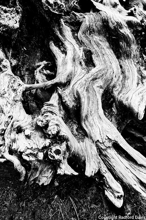 Tree roots, Yosemite National Park. Black and white.