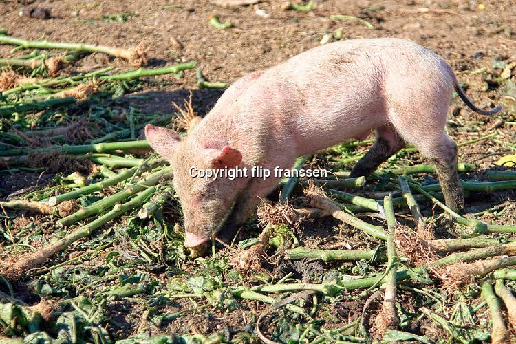 Spanje, ElEjido, 7-11-2019Op een biologische varkenshouderij, boerderij, lopen de dieren constant buiten en eten afvalvruchten uit de plastic kassen die hier te vinden zijn.Foto: Flip Franssen