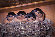 Young barn swallow chicks (Hirundo rustica) in their nest. Photographed in a barn on Sauvie Island, Oregon.