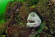 A Wolf Eel, Anarrhuchthys ocellatus, peers out of its den offshore Nanaimo, Vancouver Island, British Columbia, Canada