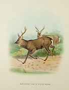 Manchurian Sika Deer (Cervus nippon mantchuricus), in Winter Pelage from the book ' The deer of all lands : a history of the family Cervidae, living and extinct ' by Richard Lydekker, Published in London by Ward 1898
