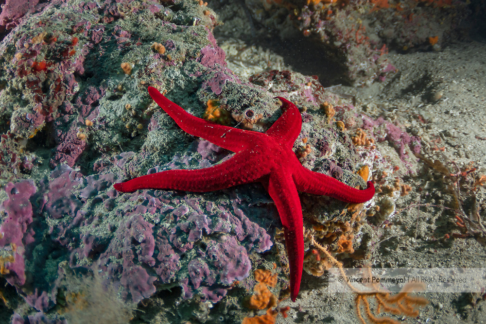 Starfish-Etoile de mer (Asteroidea) of Mediterranean sea.