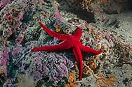 Starfish-Etoile de mer ( Asteroidea) of Méditerranée sea.