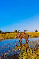 Elephant drinking water in a stream, near Kwara Camp, Okavango Delta, Botswana.