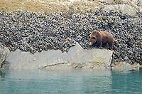 Brown Bear feeding in the intertidal zone in Glacier Bay National Park and Preserve, Alaska.
