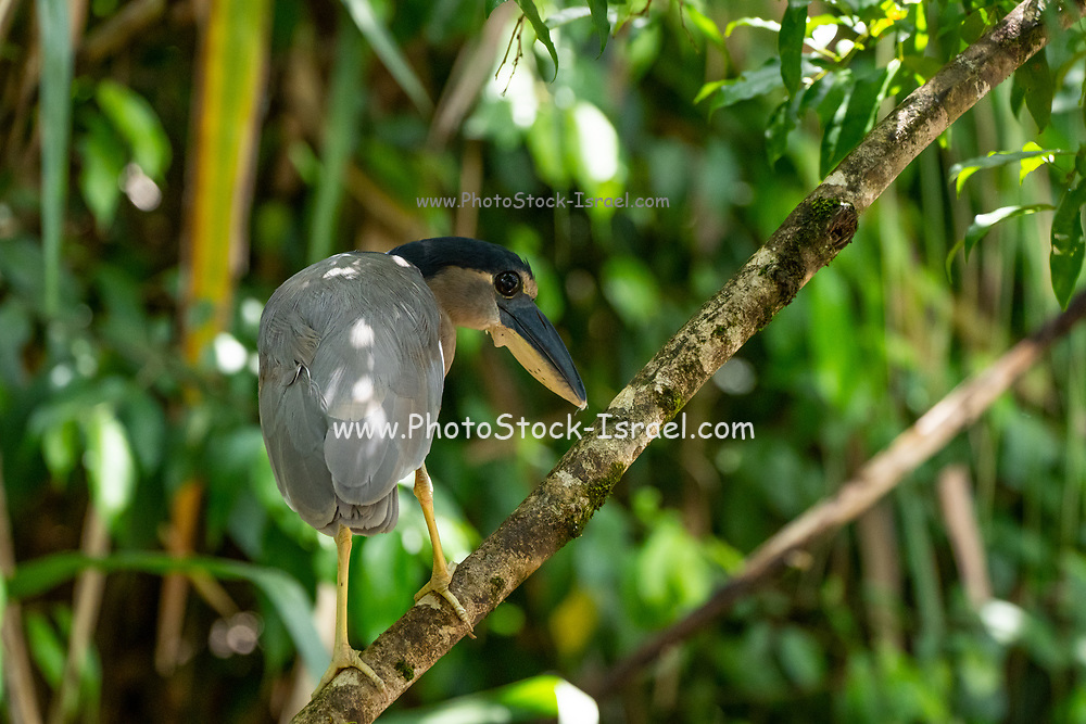 Boat-billed heron (Cochlearius cochlearius) (also called boatbill) perching on a branch. This nocturnal bird lives in mangrove swamps in Mexico and Central and South America. Photographed in Costa Rica in June.