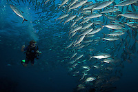 A 9 year-old boy swims with a school of jacks (Trevally).