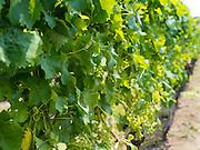 Closeup view of grape plants growing in a vineyard on Waiheke Island, New Zealand