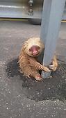 Cop Saves Tiny Terrified Sloth