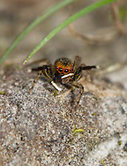 Euphrys frontalis - Male. This is probably the most common jumping spider in the UK. The male has orange eye fringes and white palp flashes as courtship signals.