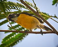 Bananaquit (Coereba flaveola). Kralendijk, Bonaire. Image taken with a Nikon D3s camera and 70-300 mm VR lens.