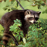 Raccoon, (Procyon lotor) Baby coon in bushed.  Captive Animal.