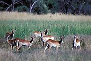 Puku, Kobus vardonii ,  Botswana, Africa, herd standing in savannah grassland, Adenota