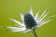 Close up image of a single eryngium flower in profile against a green background, in a Norfolk garden