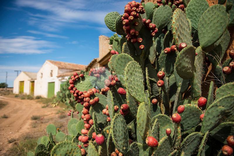 Chumberas con higos chumbos (Opuntia ficus-indica). Alpera. Albacete. España ©Antonio Real Hurtado / PILAR REVILLA