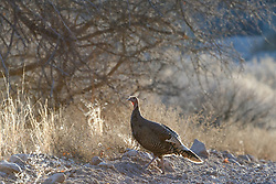Backlit wild turkeys (Meleagris gallopavo), Ladder Ranch, west of Truth or Consequences, New Mexico, USA.