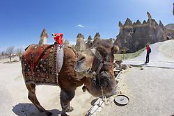 Camel, Open Air Museum