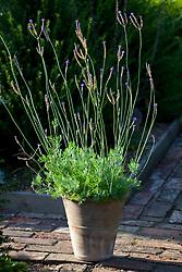 Lavandula pinnata in a terracotta pot. Lavender