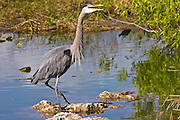 Great Blue Heron, Ardea herodias, river scene in the Everglades, Florida, USA