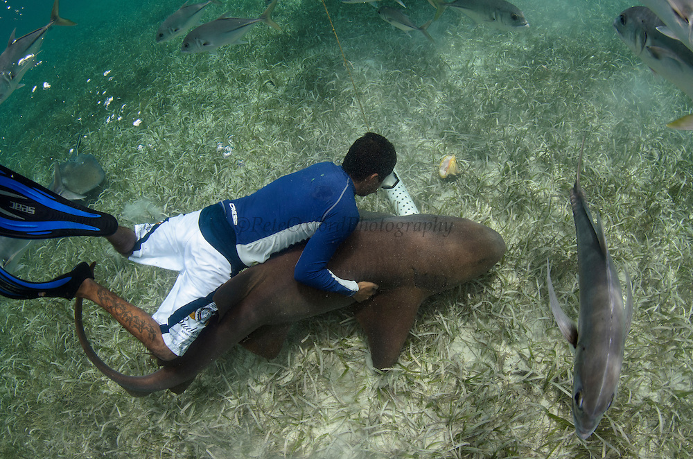 Nurse Shark (Ginglymostoma cirratum) & Guide<br /> Shark Ray Alley<br /> Hol Chan Marine Reserve<br /> near Ambergris Caye and Caye Caulker<br /> Belize<br /> Central America<br /> UNETHICAL HANDLING, ILLEGAL