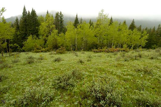 Aspen grove in Southwestern Montana. Early Summer.