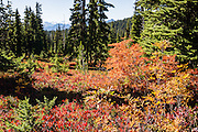 In late summer, deciduous leaves turn red, yellow and orange in the alpine zones of Garibaldi Provincial Park, the Coast Range, British Columbia, Canada. Garibaldi Park is east of the Sea to Sky Highway (Route 99) between Squamish and Whistler.