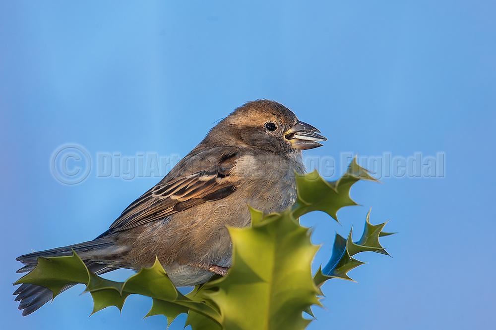 House Sparrow on a holly | Gråspurv på en krisstorn.