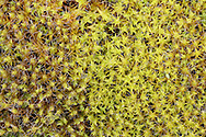 Sand-hill Screw Moss - Syntrichia ruraliformis