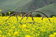 Rusty Wagon Wheels In The Mustard Fields