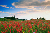 Indian paintbrush and other wildflowers coat the alpine meadows in Pukeashun Provincial Park on the Adams Plateau in the Shuswap Highlands, near Salmon Arm, British Columbia, Canada.