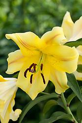 Lilium 'Gambetta'. Oriental trumpet lily