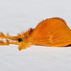 """""""Mariposa-amarela-de-perna-peluda (Acraga infusa) fotografado em Linhares, Espírito Santo -  Sudeste do Brasil. Bioma Mata Atlântica. Registro feito em 2013.<br /> <br /> <br /> <br /> ENGLISH: Yellow furry-legs photographed in Linhares, Espírito Santo - Southeast of Brazil. Atlantic Forest Biome. Picture made in 2013."""""""