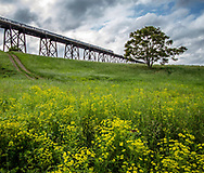 The fields below the Moodna Viaduct are full of spring flowers as a Port Jervis bound train heads north.