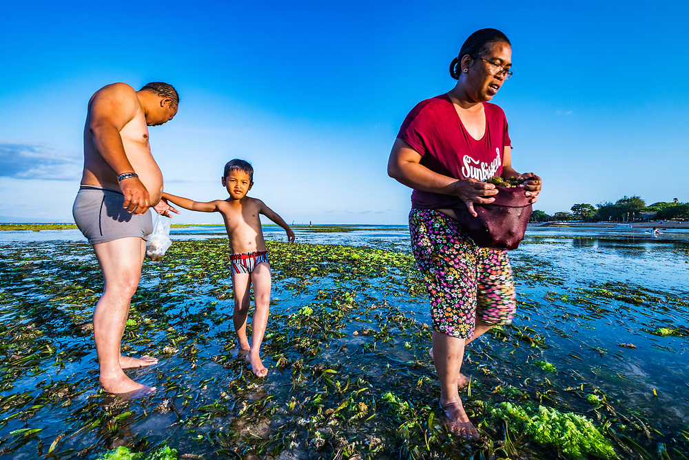 A family gathers the fruit of tape seagrass, Enhalus acoroides, to eat and sell at low tide near Sanur, Bali.