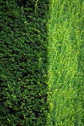 Yew hedge - Taxus baccata