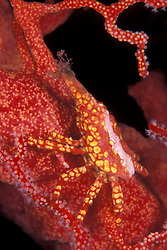 A master of camouflage, this Depressed gorgonian crab, Xenocarcinus depressus, blends in perfectly with its host, a gorgonian coral.  Mergui Archipelago, Myanmar, Andaman Sea, Indian Ocean