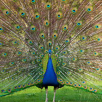 A peacock shows off his  impressive display to the crowd at Parc Paradiso zoo, one of the best bird habitats in all of Belgium